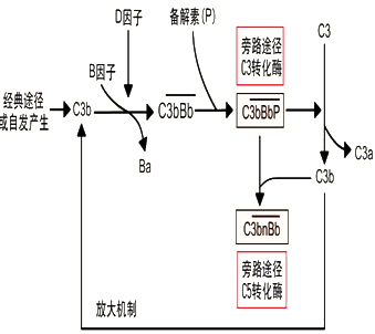 关键步骤是c3b依赖性正