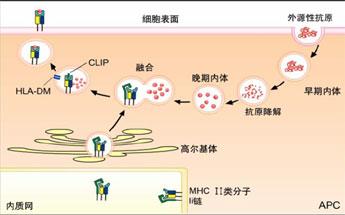 理论要点之免疫学 免疫应答
